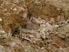 Desert Lark Nest, Jordan, Photo by David Hosking/FLPA
