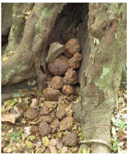 An accumulation of stones in between buttress roots. Nature Science Reports 6, 22219